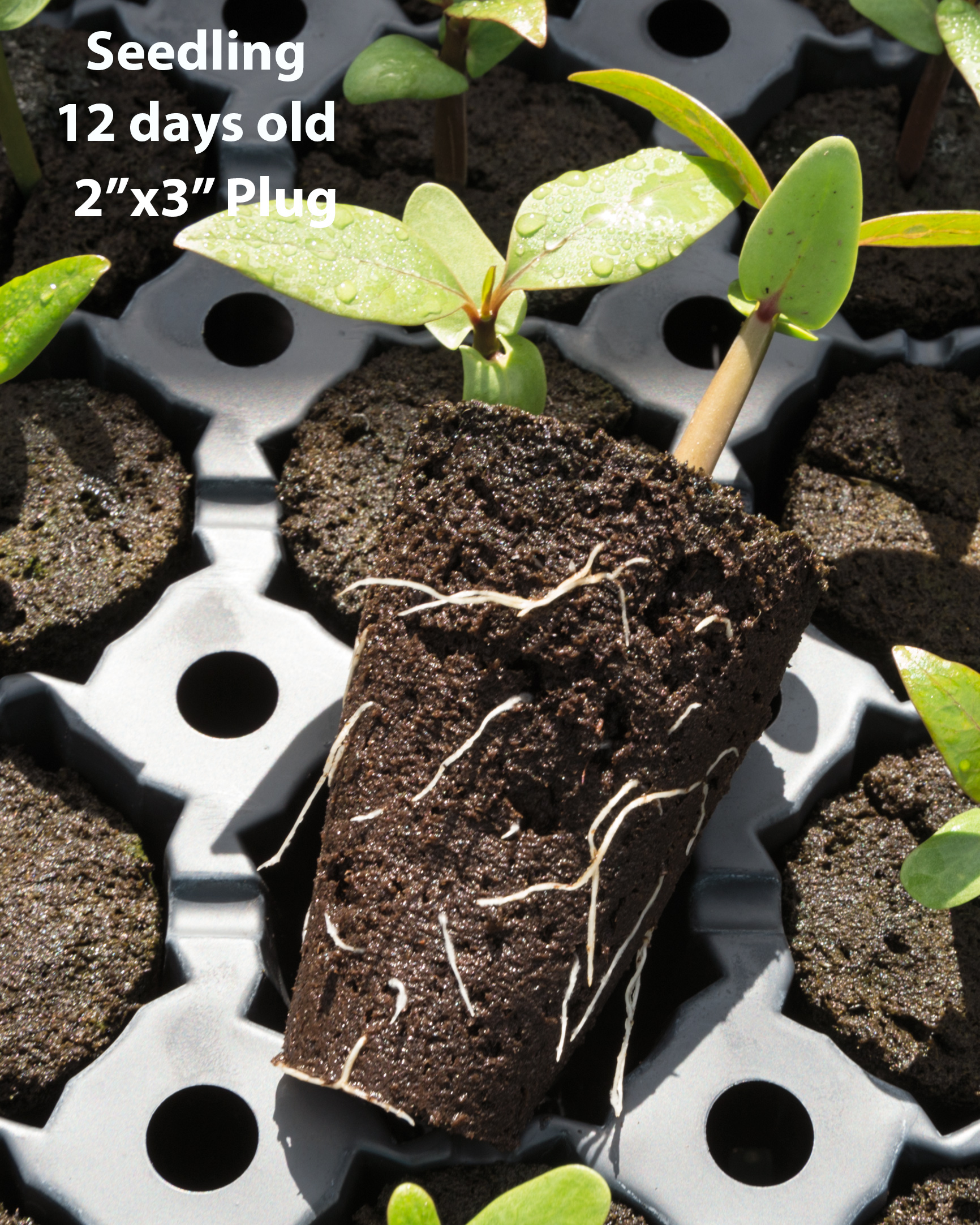 large-plug-seedling-12-days-8348.jpg